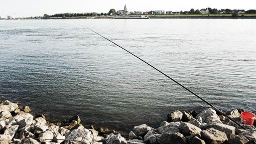 Köderfische stippen zum Zanderangeln mit Pose