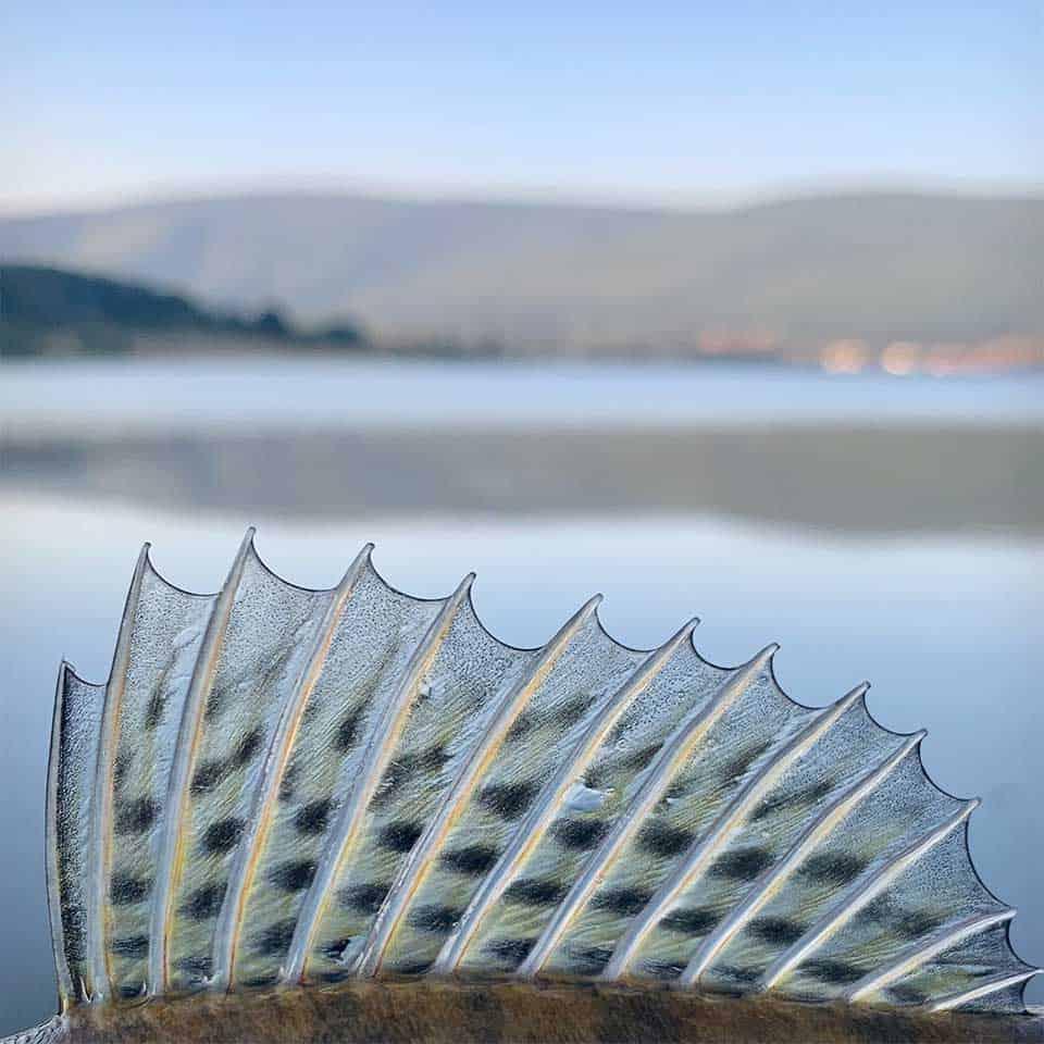 Zander mit Rotaugendekor Glasauge